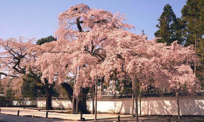 Hoa anh đào nở sớm nhất 1.200 năm do biến đổi khí hậu