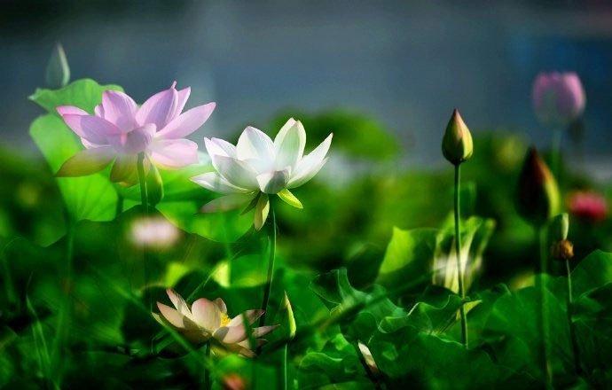 Hoa sen ngủ yên trăm năm trong vườn vua nhà Thanh bất ngờ nở rộ