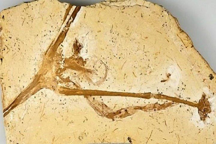 Hóa thạch 115 triệu năm của cây hoa loa kèn cổ nhất thế giới