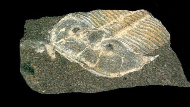 Hóa thạch siêu hiếm của bọ ba thuỳ cổ đại được bảo quản cực hoàn hảo