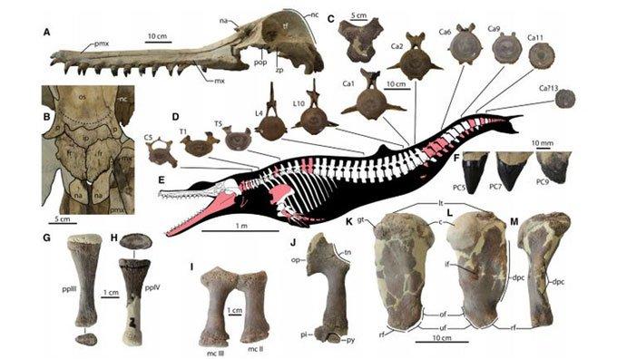 Hóa thạch tiết lộ loài cá heo quái vật dài 4,6m
