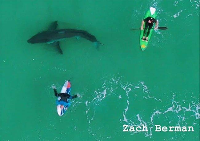 Hoảng hồn phát hiện cá mập trắng lớn bơi… ngay dưới chân