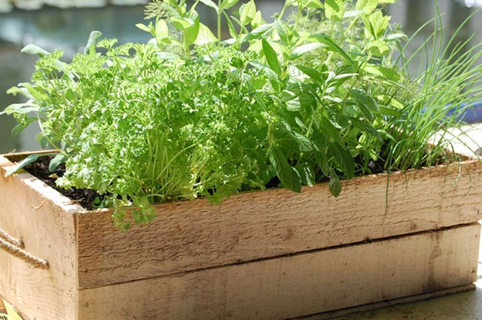 Hướng dẫn trồng rau thơm sạch tại nhà