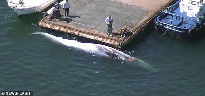 Hy hữu chuyện loài cá voi to lớn thứ 2 thế giới bị chết kẹt trước mũi tàu chở dầu Nhật Bản