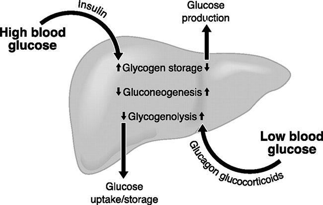 Insulin là gì? Vai trò, tác dụng phụ và lưu ý khi sử dụng insulin
