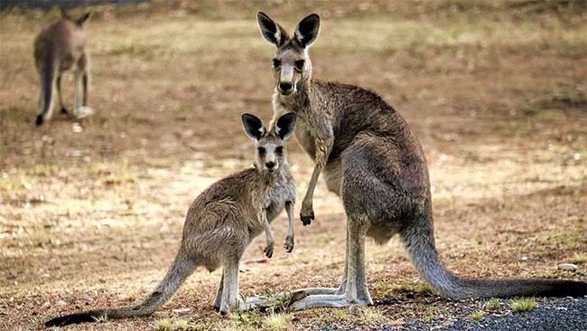 Kangaroo ăn xác đồng loại để lấy dưỡng chất