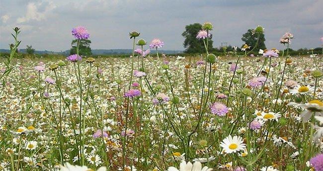 Kế hoạch cao tốc hoa dại giúp bảo vệ loài thụ phấn tại Anh