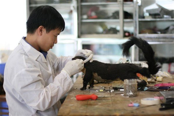 Khám phá cách xử lý xác động vật thành mẫu vật sống