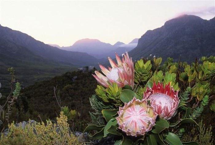 Khám phá Cape Floral: Vương quốc hoa lửa
