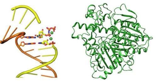 Khám phá mới: Tế bào của người có thể tự điều chỉnh chuỗi RNA thành DNA