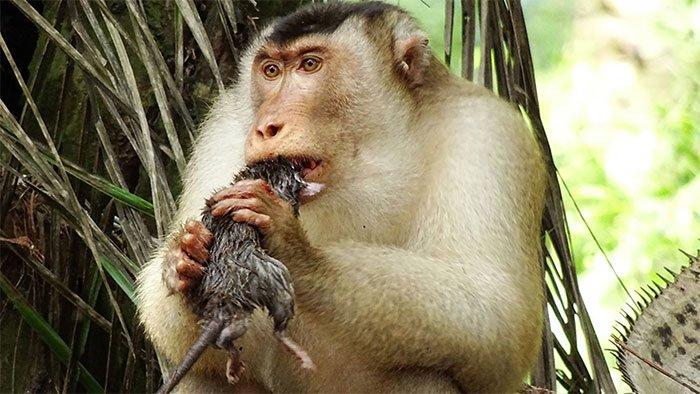 Khỉ ăn thịt chuột khiến nhà nghiên cứu kinh ngạc