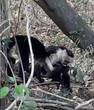 Khỉ cái đầu đàn và khỉ đực chia nhau ăn thịt đồng loại sơ sinh