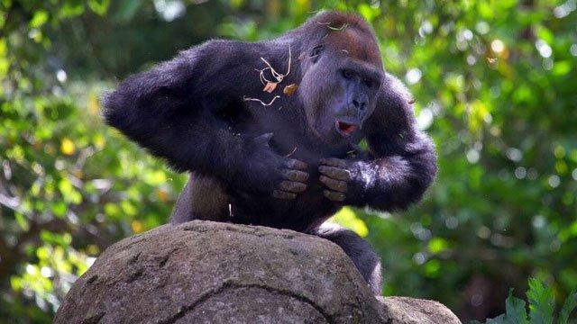 Khỉ đột vỗ ngực để làm gì?
