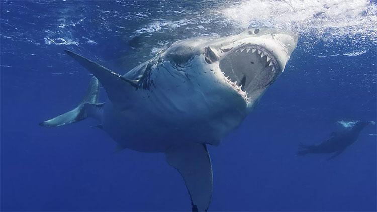 Kho báu chống tuổi già, ung thư trong cơ thể cá mập