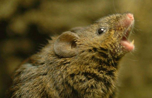 Khoa học lý giải cách loài chuột cưa gái: Hát!