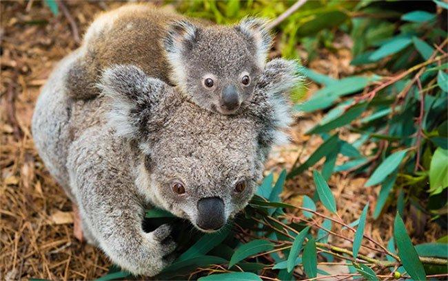 Khoa học tuyên bố gấu koala chính thức tuyệt chủng về chức năng nhưng điều đó có ý nghĩa gì?