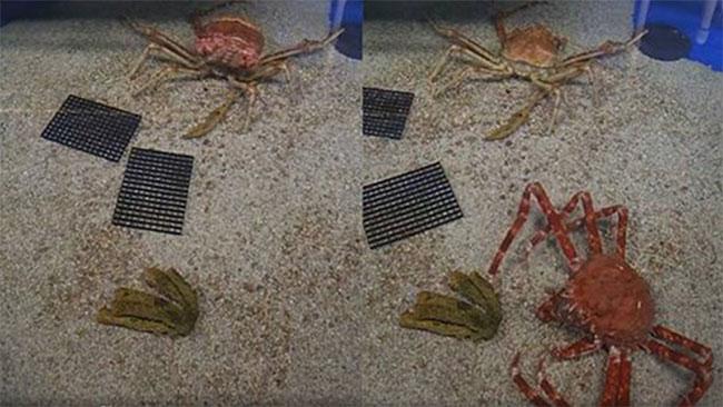 Khoảnh khắc hiếm hoi khi cua nhện lớn nhất thế giới lột xác