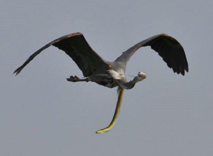 Khoảnh khắc hiếm thấy: Con lươn xé toạc cổ họng của kẻ săn mồi khi đang bay trên trời