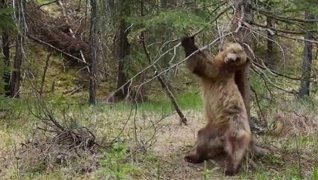 Không chỉ riêng con người, gấu nâu cũng biết múa cột