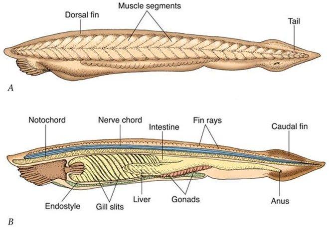 Không đầu, không tim, không xương, loài cá này có thể tồn tại được suốt 500 triệu năm cho tới giờ