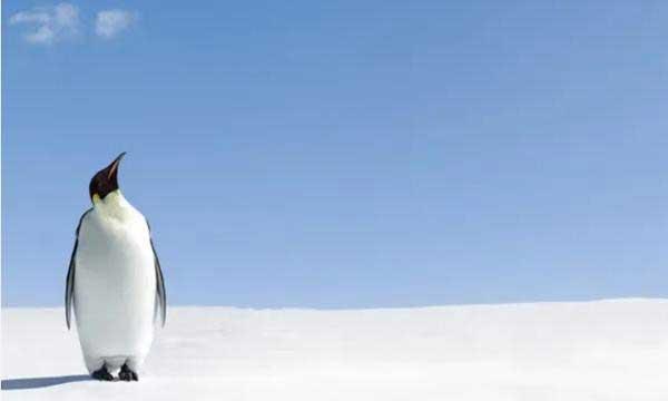 Không phải tìm đâu xa, chim cánh cụt có lẽ chính là sinh vật hành tinh khác đến Trái dất?