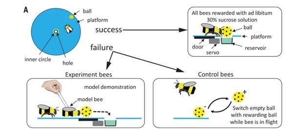 Không thể tin nổi: Video bắt quả tang 2 con ong làm việc teamwork để mở nắp một chai nước ngọt?