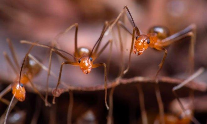 Kiến vàng điên đe dọa di sản thế giới tại Australia