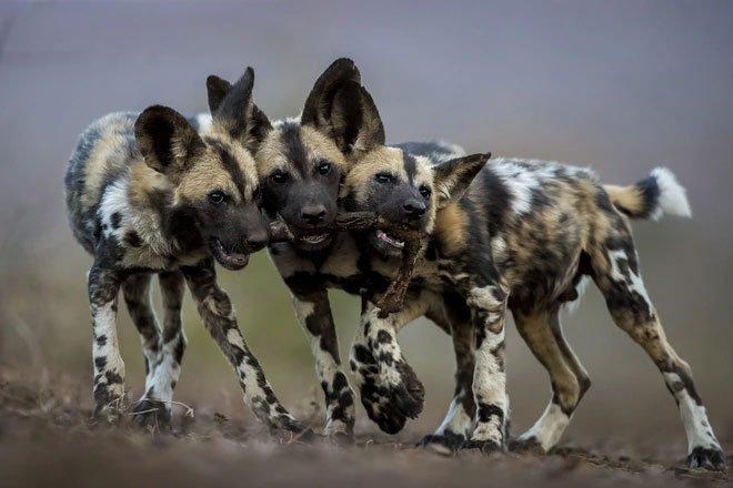 Kinh hãi cảnh bầy chó hoang vây bắt và hạ gục trâu rừng cực chóng vánh