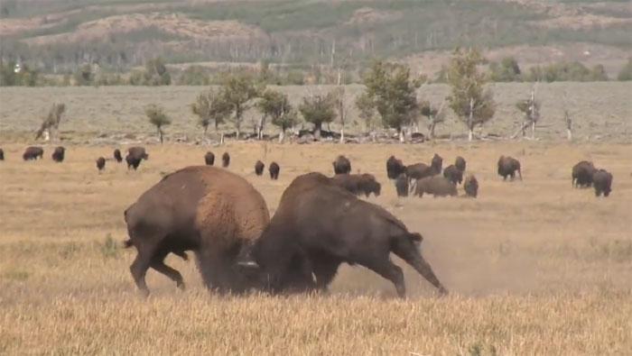 Kinh hãi với màn ác đấu bất phân thắng bại của bò đực châu Mỹ