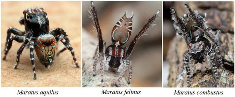 Kinh ngạc về 3 loài nhện tí hon mới phát hiện ở Úc