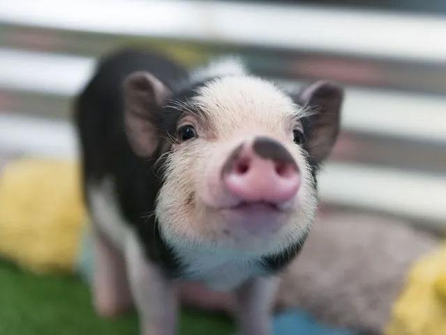 Kỳ diệu: Não lợn chết 4 tiếng được làm cho sống lại