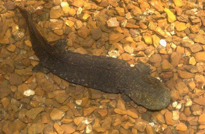 Kỳ giông khổng lồ bên bờ vực tuyệt chủng ở Mỹ