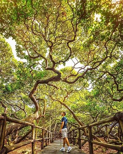 Kỳ lạ cây đào lộn hột lớn nhất thế giới to gấp đôi sân bóng đá