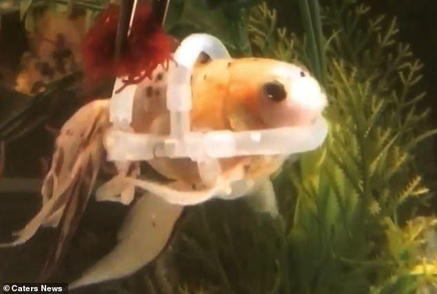 Kỳ lạ con cá phải mặc áo phao để bơi