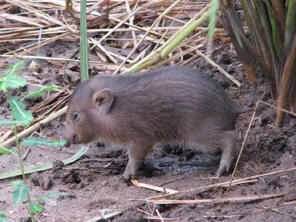 Kỳ lạ loại lợn nhỏ nhất thế giới tưởng chừng đã tuyệt chủng