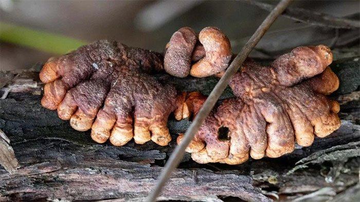 Kỳ lạ nấm ký sinh hiếm gặp, ngón tay thây ma ở Úc
