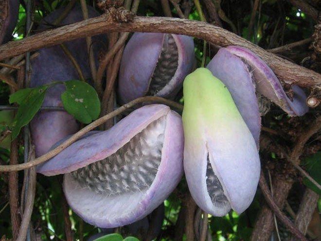 Kỳ lạ thứ trái cây giống xoài nhưng màu tím, còn bên trong như quả chuối