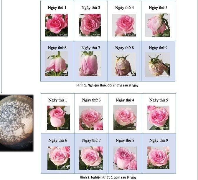 Kỹ sư điện tử chế dung dịch ion đồng giữ hoa tươi gấp 3 lần