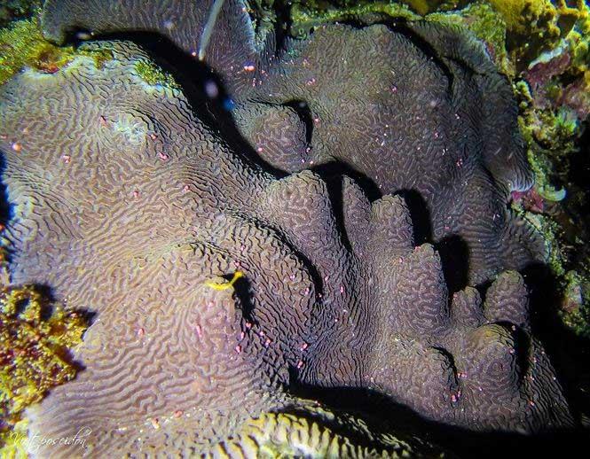 Kỳ thú san hô đẻ trứng một ngày duy nhất trong năm