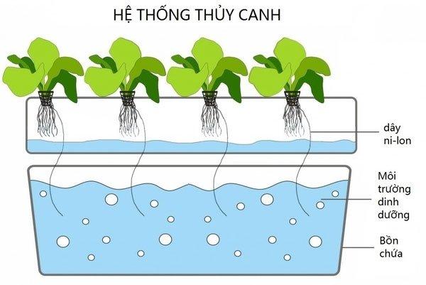 Kỹ thuật trồng cây thủy canh là gì?