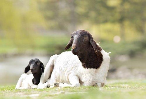 Làm thế nào cừu giải quyết bộ lông của nó nếu không được cắt bởi con người?