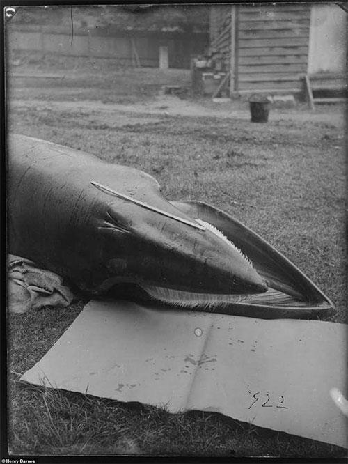 Lần đầu công bố ảnh những sinh vật to lớn kì bí ở Úc hơn 150 năm trước