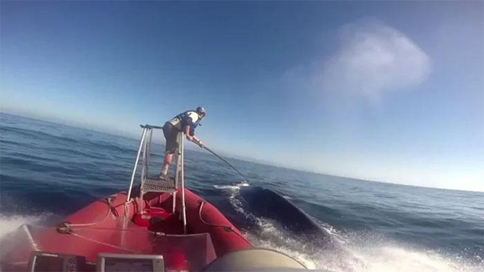 Lần đầu đo được nhịp tim của cá voi xanh