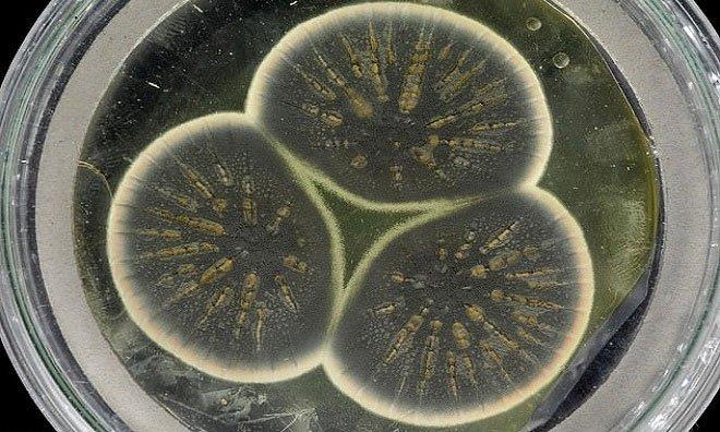 Lần đầu giải trình tự nấm penicillin của Alexander Fleming