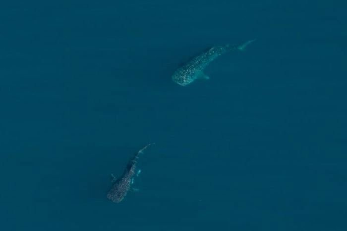 Lần đầu tiên bắt gặp cảnh chuyện ấy của một trong những sinh vật lớn nhất thế giới