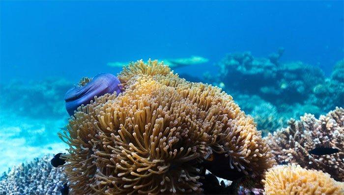 Lần đầu tiên các nhà khoa học quan sát thấy tế bào san hô nuốt tảo