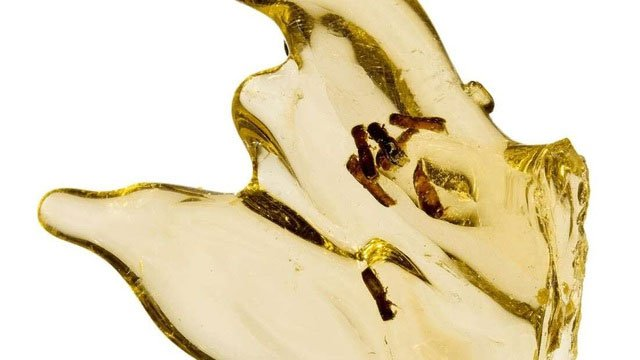 Lần đầu tiên chiết xuất thành công DNA côn trùng được nhúng trong hổ phách