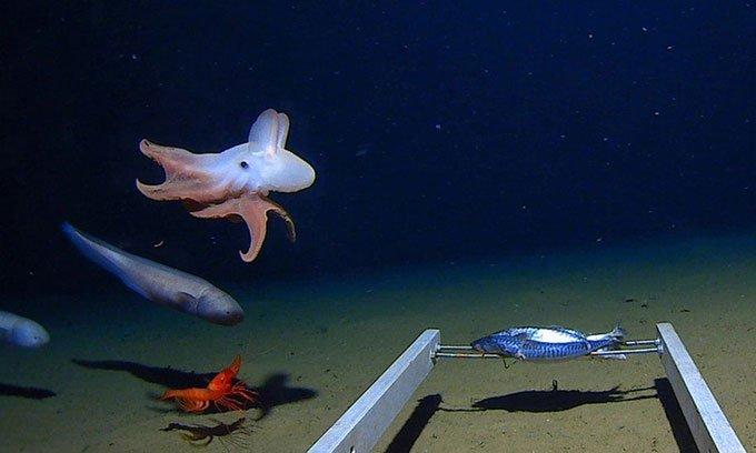 Lần đầu tiên ghi hình bạch tuộc ở độ sâu 7.000m