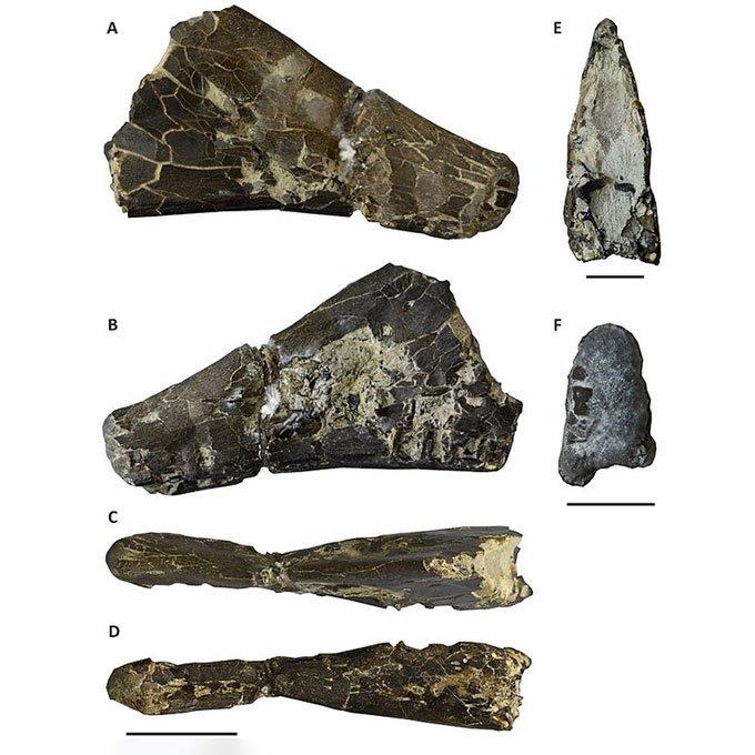 Lần đầu tiên tìm thấy hóa thạch hiếm của thằn lằn ngón cánh