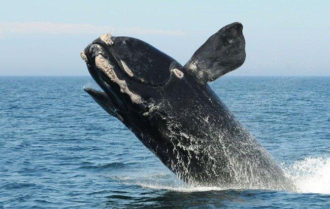 Lần đầu tiên trong lịch sử, chúng ta thu được tiếng hát của loài cá voi đen hiếm nhất thế giới